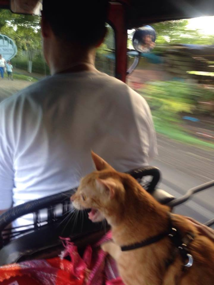 cat on tuk tuk